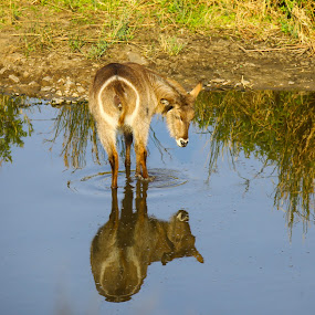 Reflections - Waterbuck  by Angie Birmingham - Animals Other Mammals ( water, nature, buck, wildlife, reflections )
