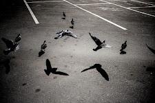 duiven op en net boven een parkeerplaats