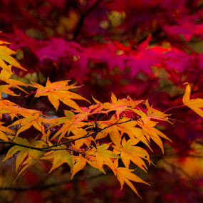Colors of Fall by Madhujith Venkatakrishna - Nature Up Close Leaves & Grasses (  )