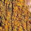 California orange lichen