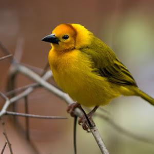 DSC04566 Yellow Bird on Branch 1400 x 1050.jpg