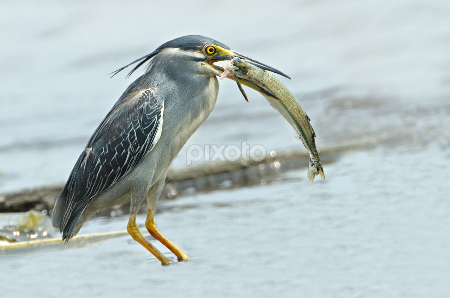 What a BIG FISH by Koktiong Ong - Animals Birds
