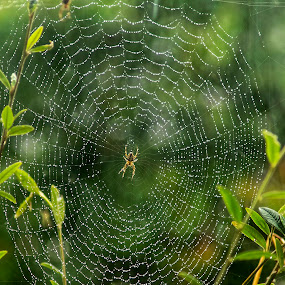 ORB WEAVER AND WEB IN THE RAIN by Zoot The-Tog - Nature Up Close Webs ( rain, green, web, raindrops, nature, orb weaver, spider )