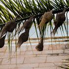 Weaverbird nests