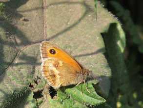 Photo: 17 Jul 13 Woodhouse Lane: Here we are: my first Gatekeeper butterfly of the year. Smaller than Meadow Brown and two white dots in the black circle. But like the Meadow Brown .... (Ed Wilson)