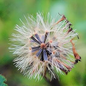bunga rumput by Sjamsul Rizal - Flowers Flowers in the Wild