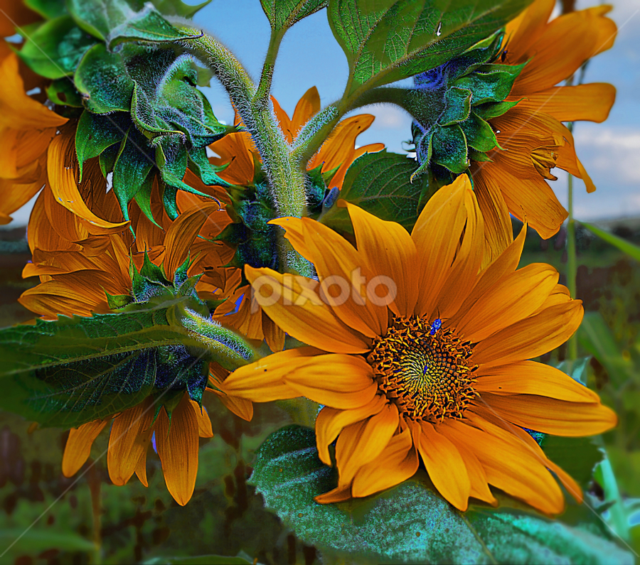 sunflowers in  a bunch by John Kolenberg - Nature Up Close Flowers - 2011-2013 ( nature, sunflowers, mexico, plants, bunch,  )