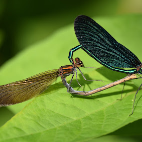love is in the air by Marjan Gresl - Animals Insects & Spiders ( dragonfly, insect love, calopteryx virgo )