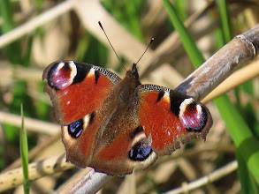 Photo: Priorslee Lake Talking of Butterflies being fresh specimens at the moment: how about this Peacock (Inachis io)? Its actually rather ragged but probably hibernated in the UK as do many other butterflies in the Vanessid family that we see early in the year. It could also be an early migrant and have flown from as far as the Mediterranean. The caterpillars feed primarily on stinging nettles which are only just emerging so there is no chance that it is UK-bred this year. (Ed Wilson)