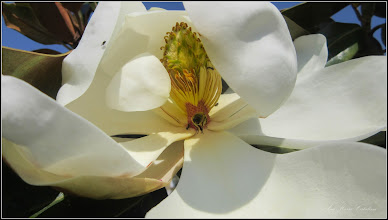 Photo: Magnolia grandiflora - din Parcul Teilor - 2017.06.11