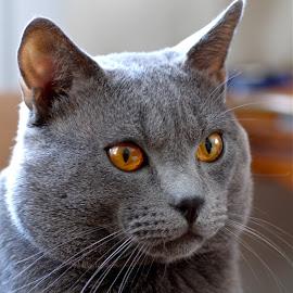 Hugo 2512 by Serge Ostrogradsky - Animals - Cats Portraits