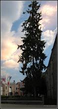 Photo: Conifer din Piata Republicii - 2017.08.28