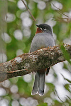 Photo: Rufous-throated Solitaire