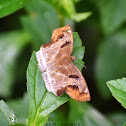 Chestnut Angle (Skipper)