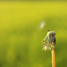 Rebel Without A Cause by Stephanie Munguia-Wharry - Nature Up Close Leaves & Grasses ( dandelion, grass, seed, weed, seedling )