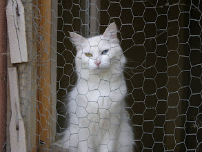 Photo: Her eyes! Van cat in quarantine at the university