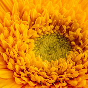 Dance of the yellows by Vamsi Korabathina - Nature Up Close Flowers - 2011-2013 ( macro, curls, dance, closeup, flower )