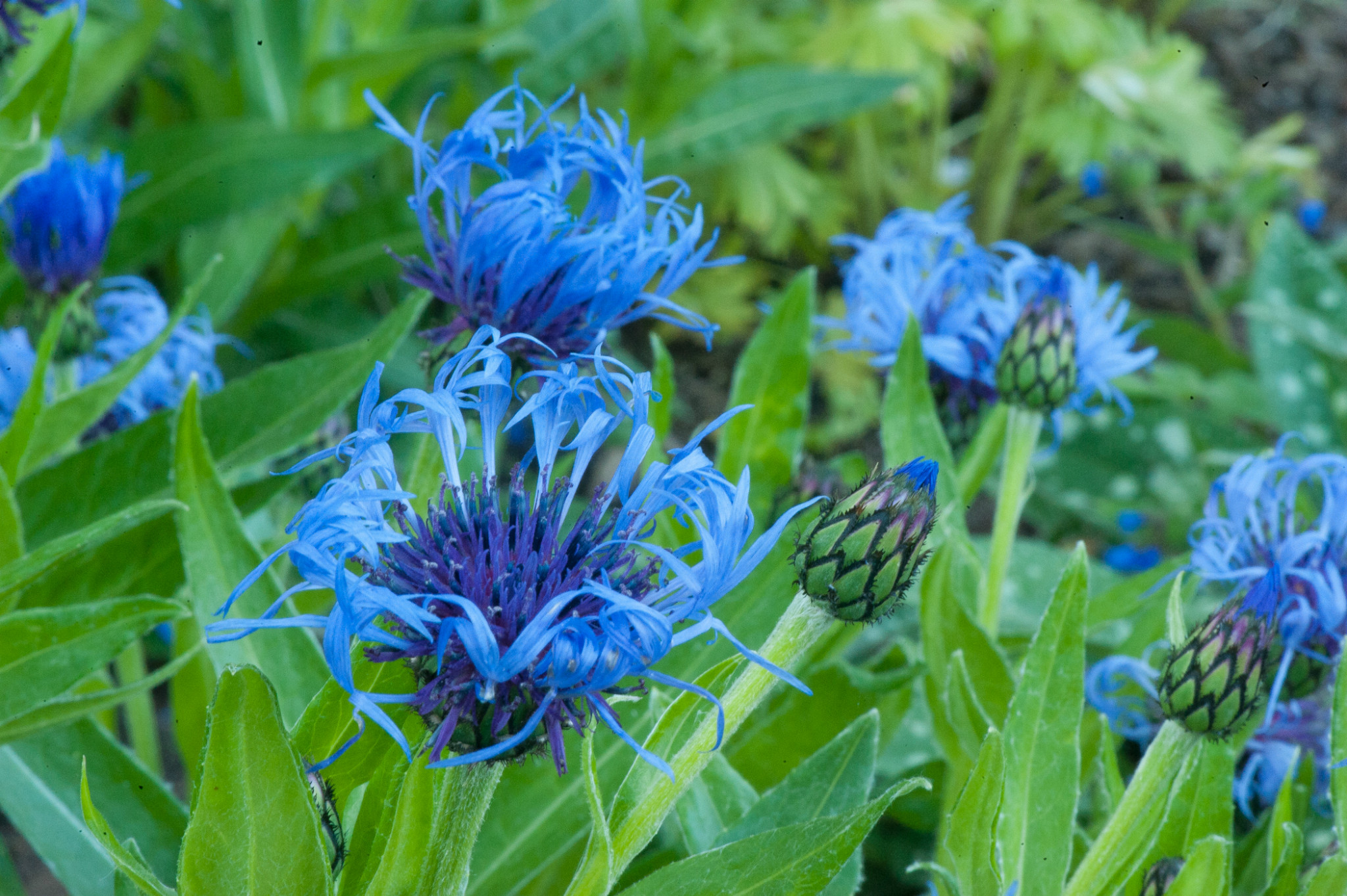 Photo: Centaurea montana, mountain bluet