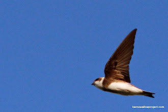 Photo: Sand martin in flight 2