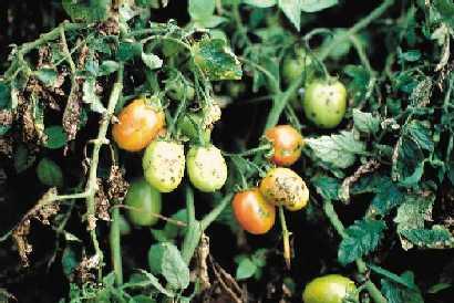 Doença do tomateiro - bactéria 1