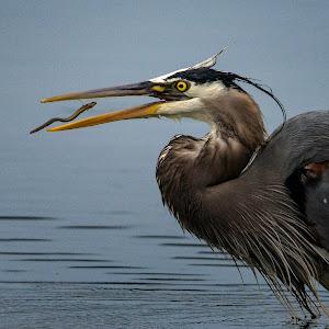 great blue catching an eel-.jpg