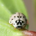 Ashy Grey ladybird