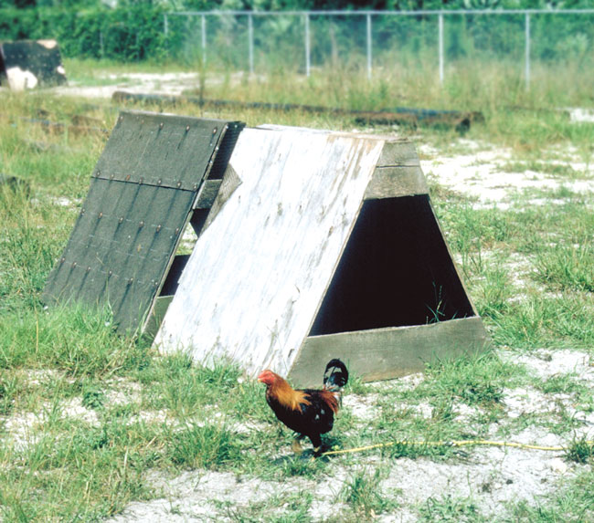 """In warm climates, gamecocks are housed on """"string walks"""""""
