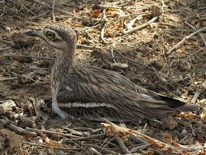 Photo: Stone-curlew