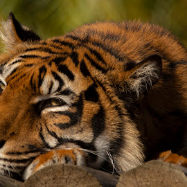 Time to rest by Tracy Morris - Animals Lions, Tigers & Big Cats