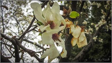 Photo: Turda - Piata Republicii, magnolie - 2019.04.06