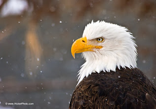 Photo: #WildlifeWednesday  a big thanks to +Mike Spinak for curating wildlife wednesday. I hope you all contributed to it.  This is another one of my favorite Bald Eagle photos - an adult Eagle sitting and waiting out a snow storm. I photographed this beautiful bird in Alaska.  I'm still working a lot in the background of my relaunched website - if you interested please stop by and check out my other pictures of Bald Eagles.  I very much appreciate it! http://www.hickerphoto.com/photos/eagle-pictures.htm  #PlusPhotoExtract #birds