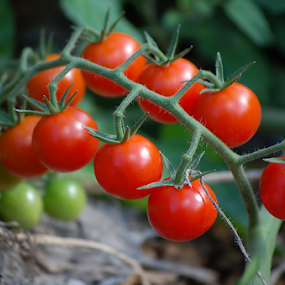 Organic Red Cherry Tomatoes On Vine by Robin Amaral - Nature Up Close Gardens & Produce ( home grown, natural light, outdoor photography, raw foods, tomatoes, vegan, outdoor garden, organic, cherry tomato, ripe, pick your own, nature up close, fruits and vegetables, garden )