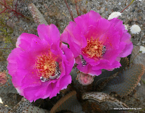 Photo: Bees on beavertail cactus blossoms; Anza Borrego Desert State Park