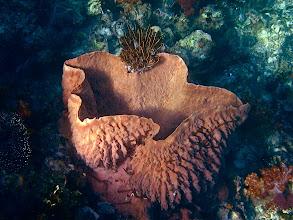 Photo: Bennett's feather star on giant sa sponge, Koh Chabang