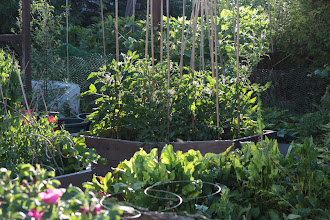 Photo: Potager filling out
