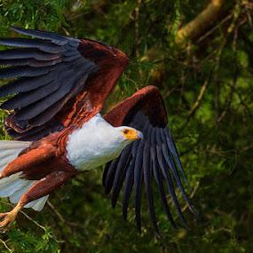 African Fish Eagle by Jamie Link - Animals Birds ( uganda africa, birds of prey, uganda wildlife authority, eagle in flight, african birds, eagle photos, queen elizabeth national park, african fish eagle, bird in flight photography, african wildlife )