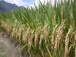 Photo: SRI hybrid rice field in Yunnan province, picture taken in 2004. [Courtesy of Zhu Defeng]