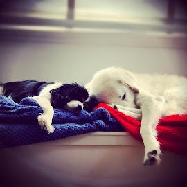 Sleeping sisters by Emma-May Jorgensen - Animals - Dogs Portraits ( cute dog, maremma sheepdog, cute dogs, copy, king charles spaniel, dog, cute, sleeping,  )