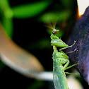 Green Mantisfly(Mantidfly)