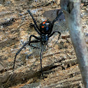 Southern Black Widow