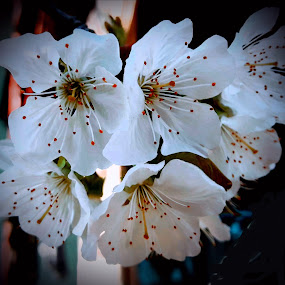 Cherry flowers by Nat Bolfan-Stosic - Flowers Tree Blossoms ( cherry, blossom, white, tree, flower )