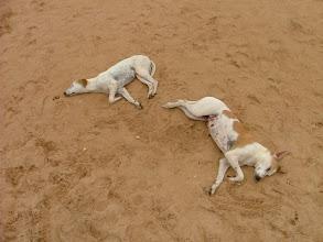 Photo: psy na plaży w candolim
