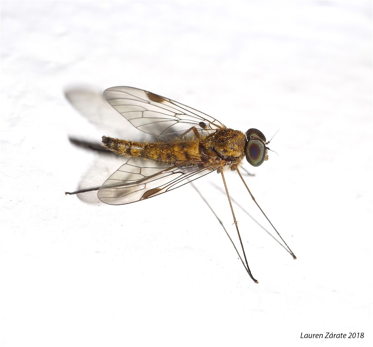 Golden Snipe Fly