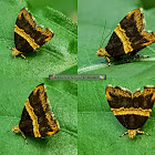 Giwen mulberry moth