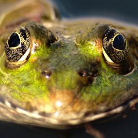 Freddie the frog by Filip Caric - Animals Amphibians ( frog zagreb croatia detail garden )