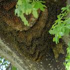 African honeybee beehive?