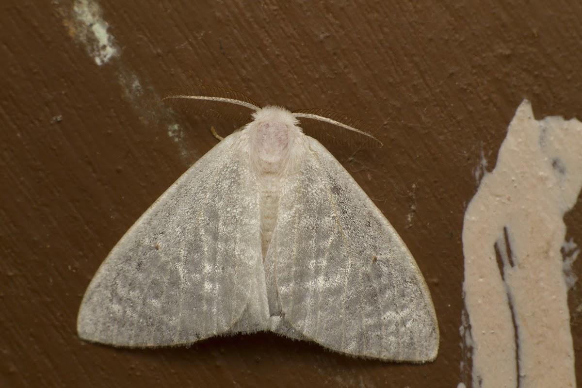 Eribid Moth