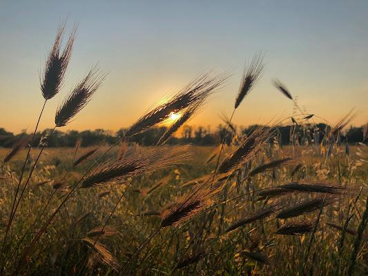 Spighe al tramonto di Ila3