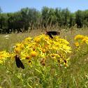 Moth on tansy ragwort