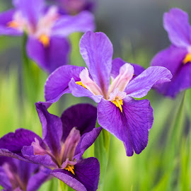 Iris Blooms by Valerie Dyer - Flowers Flower Gardens ( iris, flowers )